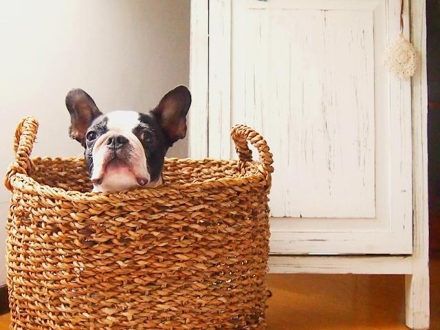 かごに入る犬